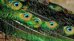Léon le Paon (Laurent Quérité) Tags: canonfrance canoneos7d canonef100400mmf4556lisusm nature oiseau bird paon pontsaintesprit gard france plume