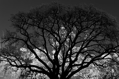 Live Oak Silhouette (infrared) (dr_marvel) Tags: ir infrared houston tx texas tree oak liveoak silhouette contrast branches