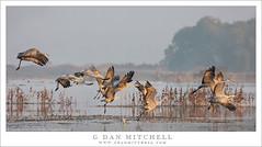 Taking Flight, Sandhill Cranes (G Dan Mitchell) Tags: sandhill cranes flock group flight taking fog haze marsh pondtakeoff nature wildlife bif birds migratory california usa north america wild mnwr morning sky