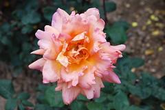 Sicher in Jesu Armen, sicher an seiner Brust (amras_de) Tags: rose rosen ruža rosa ruže rozo roos arrosa ruusut rós rózsa rože rozes rozen roser róza trandafir vrtnica rossläktet gül blüte blume flor cvijet kvet blomst flower floro õis lore kukka fleur bláth virág blóm fiore flos žiedas zieds bloem blome kwiat floare ciuri flouer cvet blomma çiçek
