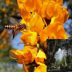 Nectar Fix. Wild Honeybee, Apis cerana indica, on a Leguminous Tree, Vihara Maha Devi Park, Hunupitiya, Colombo, Sri Lanka (Rana Pipiens) Tags: honeybee apisceranaindica nationalmuseumcolombosrilanka viharamahadeviparkcolombosrilanka olymp leguminosa orange flower insect highrise nectar