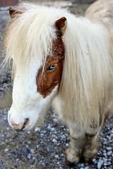 Horse with the Blue Eyes (traceyellen) Tags: horse blue eyes farm animal mini barn countryside