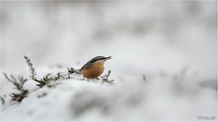 Nuthatch in the snow (Gertj123) Tags: bokeh bird animal avian arjantroost hide holterberg netherlands nature canon snow
