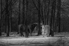 Forest Cows (Dan Fleury Photos) Tags: loyalist ontario canada ca cow pine trees forest bath rural farm life farmlife bovine road agriculture blackandwhite black white mono sony 70200f4