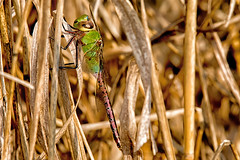 2017 Common Green Darner (Anax junius) (DrLensCap) Tags: common green darner anax junius north park village nature center chicago illinois il bug insect dragonfly dragon fly robert kramer