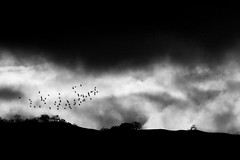 (Christopoulos) Tags: blackwhite birds flock birdsinflight hills trees california northerncalifornia winter storm stormclouds clouds sunrise morning