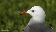 Heermann's Gull (Bob Gunderson) Tags: aerialwaterbirds birds california gulls heermannsgull larusheermanni marinagreen northerncalifornia presidio sanfrancisco