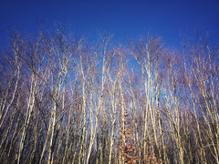 contrast (Jos Mecklenfeld) Tags: appleiphone5s natuur nature bluesky sky bos forest