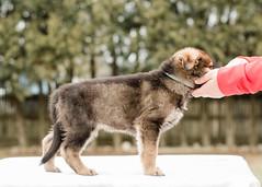 2019-03-02, Mel x Dezi Teal Male-4 (Falon167) Tags: gsd germanshepherddog german shepherd dog puppy mel dezi melxdezi litter bessie puppies