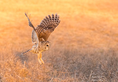 Barred Owl (Jamie Lenh Photography) Tags: nature wildlife birds owls barredowl nikon tamron ontario canada jamielenh