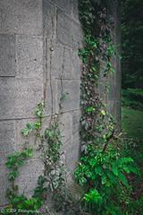 Creeping Up the Wall (KRHphotos) Tags: swannanoapalace abandoned virginiacreeper virginia stonewall nature