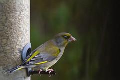 "a male greenfinch checks nothing is sneaking up behind him, A Potterton Garden, Aberdeenshire, Scotland (grumpybaldprof) Tags: canon 7d ""canon7d"" sigma 150600mm f563 ""dgoshsmsport"" ""sigma dgoshsmsport"" colour colours colourful bright ""greenfinch"" ""chlorischloris"" fringillidae ""truefinch"" passerine bird small songbird"