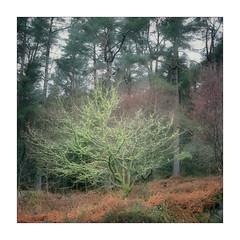 Illuminous (gerainte1) Tags: northwales snowdonia trees woodland forest woods winter lichen colour film provia100 hasselblad501
