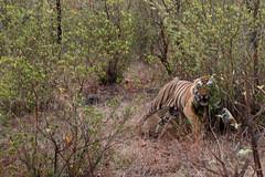 Furious tiger (renatecamin) Tags: tiger india indien penchnp tier animal säugetier safari