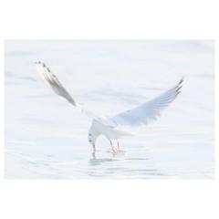 ユリカモメ (HAL_SYLPH) Tags: bird animal nature wildlife xh1 xf100400mm fujifilm pronegastd