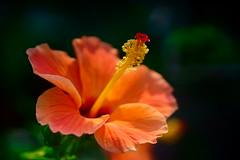 Spring blooming (symanbiswas) Tags: sonyalpha sonya6000 sonyimages sony sonyindia sonyalpha6000 sonyalphaimages vivitar flower spring macro macrophotography manualfocus vintagelens