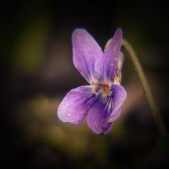 Veilchen, Viola, violet (fritz polesny) Tags: veilchen viola violet panasonic g81 45200mm flower garten garden spring geophyt