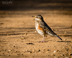 Redwing (Photography - KG's) Tags: bird birds redwing animals wildlife summerleys nature reserve