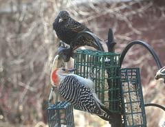 Red-bellied Woodpecker And European Starling IMG_1337 (Ted_Roger_Karson) Tags: canonpowershotsx280hs northernillinois handheldcamera canonpowershot add tags birds bird feeder woodpecker redbellied back yard friends backyard northern illinois canon sx280 hs powershot miniature compact pocket camera male seed cake zoom animals suet telephoto thisisexcellent twop test photo hand held minicompact food bell downy hairy