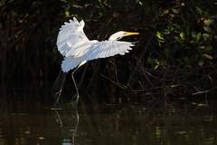 Great Egret (steve whiteley) Tags: bird birdphotography thegambia greategret egrettaalba water reflection