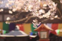 Kawagoe SAKURA06 (sunuq) Tags: kawagoe 2019年 japan canon eos 5dsr ペッツバール ロモグラフィ lomography zenit petzval ぼけ bokeh 桜 川越 tree cherry 蓮馨寺