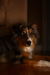 Poised (flashfix) Tags: december302018 2018inphotos flashfix flashfixphotography ottawa ontario canada nikond7100 40mm portrait sock dog canine animal pet austrailanshepherd triaustrailanshepherd bluemerle tricolour heterochromia
