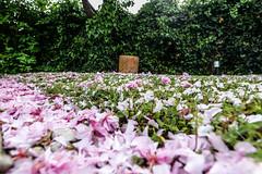 02-Pétales de cerisier fleurs (Alain COSTE) Tags: maison nikon pessac sigma20mmf14 fleur herbe jardin pétales gironde france fr