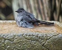 Unknown Bather (ACEZandEIGHTZ) Tags: birdwatcher backyard bird macro closeup nikon d3200 bokeh birdbath feathers wet coth alittlebeauty coth5 sunrays5