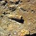 Fossiliferous dolostone (Rockford Limestone, Lower Mississippian; Burkesville West Rt. 90 roadcut, Kentucky, USA) 13