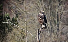 Young Bald Eagle resting up after several failures (foto tuerco) Tags: young juvenile bald eagle perched oregon wetlands