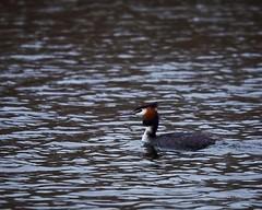 Weet iemand welke soort dit is? (d50harry123) Tags: bird waterbird duck nikon d750 nature naturephotography bredevoort dutch winterswijk gracht water harrykramer naturewatcher