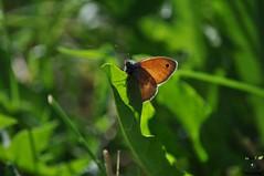 Fadet (Instant_T) Tags: papillon papillons butterflies butterfly papilio lépidoptères fadet alpes hautesalpes été soleil nymphalidae papilionoidea