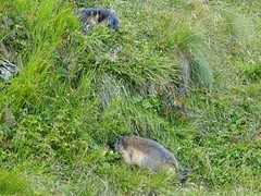 Austria '17 (faun070) Tags: austria grossglocknerstrasse franzjosefhöhe murmeltier alpinemarmot wildlife mammal