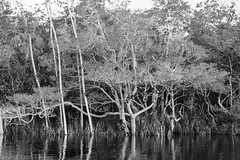 Rio Marié (Johnny Photofucker) Tags: sãogabrieldacachoeira am amazonas amazon amazônia brasil brazil brasile lightroom preto branco black white nero bianco bw pb marié riomarié noiretblanc monochrome tree árvore albero florestaamazônica forest foresta floresta jungle selva giungla rainforest natureza nature natura 24105mm