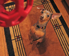 he was loved (Vicki's Nature) Tags: dog peanut minidachshund small blue red soccer ball begging prettysit vickisnature canon s5 iloveyou