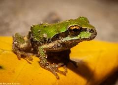 Pacific Tree Frog (KilcherPNW) Tags: pacifictreefrog pacificchorusfrog pseudacrisregilla