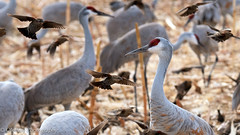 """Who Invited the Blackbirds?!"" (OJeffrey Photography) Tags: bosquedelapache blackbirds sandhillcranes birds feeding newmexico nm wildliferefuge wildlife cranes panorama pano ojeffreyphotography ojeffrey jeffowens nikon d500"
