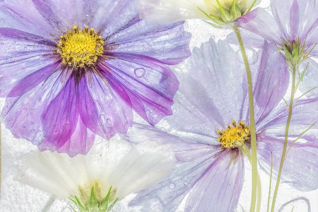 Обои вода, макро, космея картинки на рабочий стол, раздел цветы - скачать