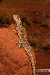 Central Netted dragon (Ctenophorus nuchalis) (J.Ramos15) Tags: agamidae dragon ctenophorus australia lizard reptile