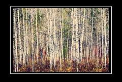 aspen grove (Pattys-photos) Tags: aspen grove pattypickett4748gmailcom pattypickett