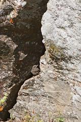 Monticola solitarius Monticole bleu Blue Rock Thrush Roquero Solitario Blaumerle (Bernard LIÉGEOIS 1M views, thank you so much :-)) Tags: espagne españa spain estrémadure extremadura laserena benquerenciadelaserena oiseau oiseaux bird birding birds birdwatch birdwatching ornitho ornithologie ornithology monticolasolitarius poussin chick