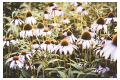Field of Cone Flowers - Chanticleer - Wayne PA_Web 1_Scaled (johann.kisaame) Tags: bokeh botanicalgardens chanticleergardens coneflower flower flowers gardens green impressionistic leaves light luminance pennsylvania philadelphia philadelphiasuburbs shadows ethereal leaf topf25