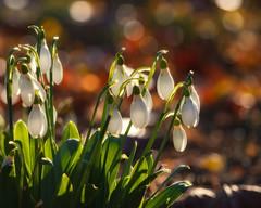Welcome back ! (FocusPocus Photography) Tags: schneeglöckchen snowdrops blumen flowers