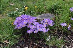 DSC_2522 Crocus (PeaTJay) Tags: nikond750 sigma reading lowerearley berkshire macro micro closeups gardens outdoors nature flora fauna plants flowers crocus