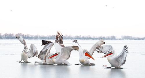 High key Pelican ballet