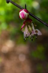 arboretum (valerie something or other) Tags: raleigh winter flower pink arboretum