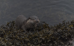 Farewell Dear Friend (davidrhall1234) Tags: europeanotter–lutralutra eurasianotter otter scotland oban animal coastal coast conservation mammal marine hunting hungry hunter nature nikon shore shoreline sea outdoors wildlife world