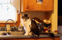 """""""If I don't look at her maybe she won't notice I'm up here."""" (Lisa Zins) Tags: lisazins cat feline petsandanimals pets animals elijah tabby kitchen nono badhabits habits counter sink happycaturday intomischief march9 2019"""