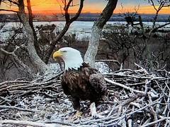Justice 3-13-2019 (3) - SCREENSHOT (THE Halloween Queen) Tags: eagles eagle wildlife bald baldeagles nationssymbol patriotic
