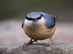 Nuthatch (doranstacey) Tags: nature wildlife birds nuthatch shillito woods woodland forest peak district tamron 150600mm nikon d5300